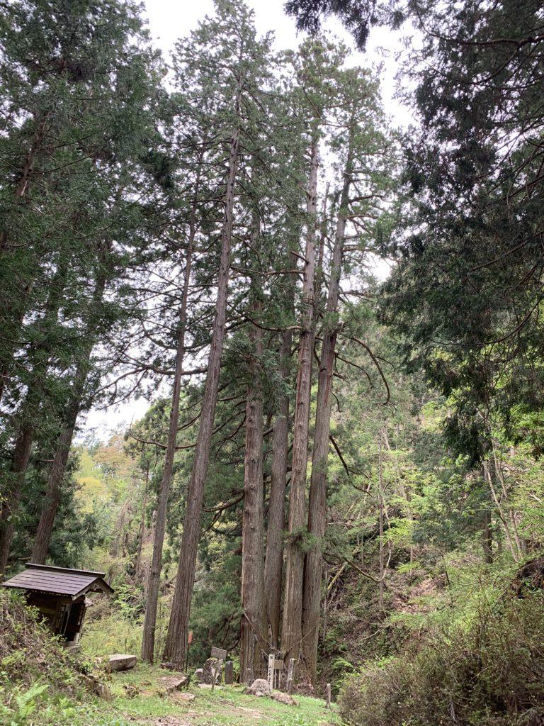 千光寺の五本杉