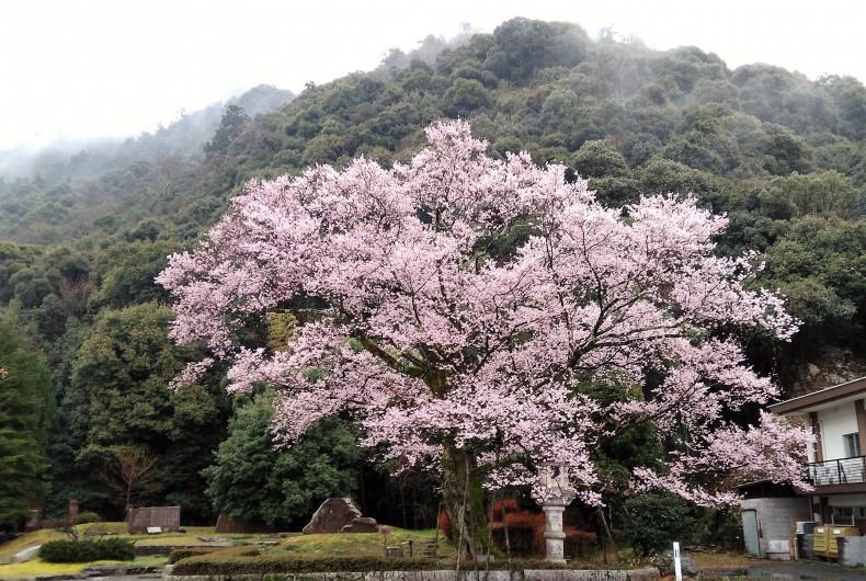 境内にある桜で鮎の漁獲量を占う
