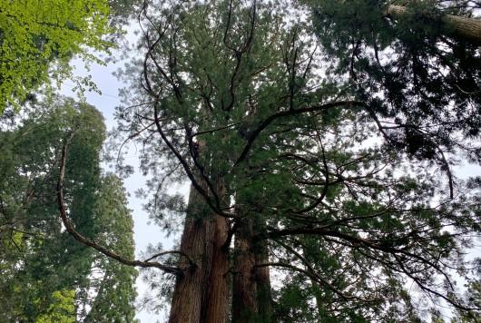 身近にある巨木を探してみよう!(1)
