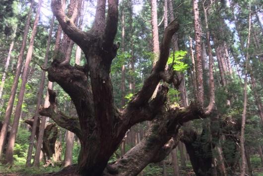 自然が生みだす神秘の樹形【岐阜県関市・株杉の森】